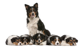 Female Border Collie, 3 years old Stock Photos