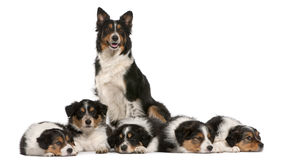 Female Border Collie, 3 years old Royalty Free Stock Images
