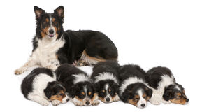 Female Border Collie, 3 years old Stock Image