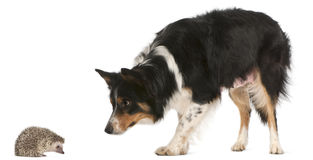 Female Border Collie, 3 years old Stock Photography