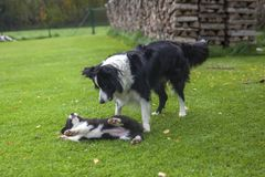 Border collie playing with puppy stock photography