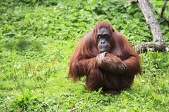 Female Bornean orangutan Stock Photography