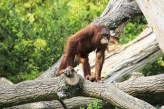 Female Bornean orangutan Stock Image