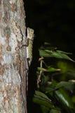 Female Borneo Anglehead Lizard Stock Photo