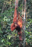 Female Borneo Orangutan with its cub, hanging and eating at the Royalty Free Stock Photography