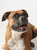 Female boxer canine Royalty Free Stock Image