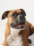 Female boxer canine. Closeup of female boxer dog on white background Royalty Free Stock Image
