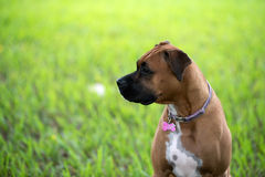 Female boxer canine Royalty Free Stock Images