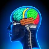 Female Brain Anatomy - Colored Stock Photos