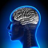 Female Brain Anatomy - White Brain Stock Photos