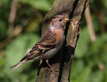Female Brambling On Tree Stump royalty free stock images