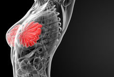 Female breast anatomy Royalty Free Stock Images