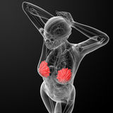 Female breast anatomy Royalty Free Stock Photos