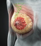 Female Breast Anatomy. Illustration. 3D render Stock Photography