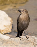 Female Brewer's Blackbird. Brewer's blackbird (Euphagus cyanocephalus) is a small long-legged songbird. The male is darker and glossy with a bright eye. Females Stock Photo