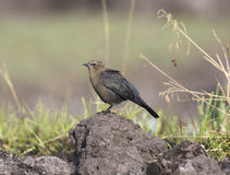 Female Brewer& x27;s blackbird on mound of dirt with grass in backgro Stock Photography