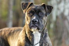 Brindle Boxer Pitbull Mastiff mix pup royalty free stock image