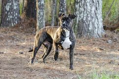 Brindle Boxer Pitbull mixed breed dog outside on leash stock photo