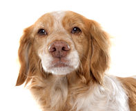 Female Brittany Spaniel Royalty Free Stock Photography