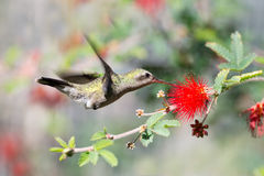 Female Broad-billed Hummingbird and Fairy Duster Flower Stock Image