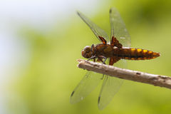Female broad-bodied chaser - Abdomen. Female broad-bodied chaser - view from the abdomen - macro shot Stock Photos