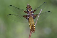 Female broad-bodied chaser - back view. In a macro shot Stock Photos