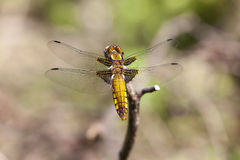 Female broad-bodied chaser Stock Image