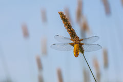 Female Broad-bodied Chaser Royalty Free Stock Photography