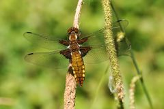 A pretty female Broad-bodied Chaser Libellula depressa perching on a reed. A female Broad-bodied Chaser Libellula depressa perching on a reed Stock Photography