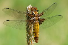 Female broad-bodied chaser royalty free stock images