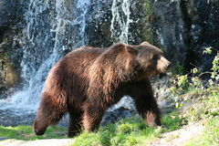 Female Brown Bear. Female bear after taking a bath in the waterfall Royalty Free Stock Photography