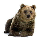Female Brown Bear, 8 years old, lying down stock images