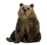 Female Brown Bear, 8 years old, sitting Royalty Free Stock Image
