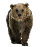 Female Brown Bear, 8 years old, walking. Against white background Royalty Free Stock Photos
