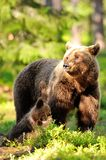 Female brown bear with cubs Stock Images