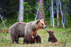 Female brown bear and her cubs Stock Photography