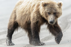 Female Brown Bear walking on the beach Stock Photo