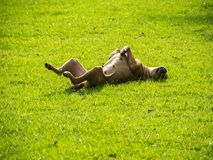 Dog lay down on lawn Royalty Free Stock Photography