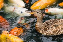 Female Brown Duck Swimming with Koi Fish Royalty Free Stock Photo