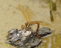 Female Brown Hawker Dragonfly ovipositing. Aeshna grandis royalty free stock image
