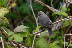 Female Brown headed cowbird Stock Images