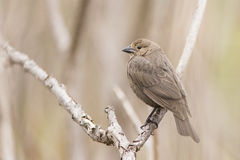Female Brown-headed Cowbird Stock Photo