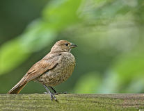 Female Brown-headed Cowbird (molothrus ater). Perched on a fence Stock Images