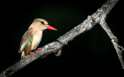 Female Brown Hooded Kingfisher, Chobe River, Botswana Stock Image