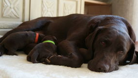 Female brown labrador and her puppies stock video footage