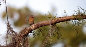 Female brown and red Northern cardinal bird Cardinalis cardinali. S perches on a tree in Naples, Florida Stock Images