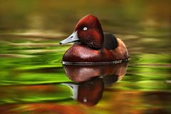 Female of brown Ruddy Duck, Oxyura jamaicensis, with beautiful green and red coloured water surface Royalty Free Stock Photos