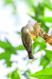A female Brown-throated (Anthreptes malacensis) Royalty Free Stock Images