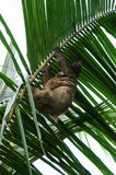 Female Brown-throated sloth with its baby. Nestled up against her tummy, climbing a palm leaf, Costa Rica, Central America Royalty Free Stock Photo