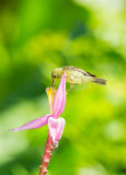 Female Brown-throated Sunbird Royalty Free Stock Image